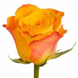 Rožė oranžinė